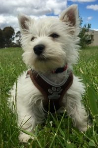 3 month old West Highland White Terrier named Frankie