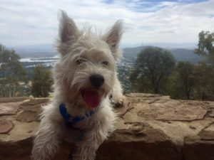 Teddy after a morning walk up Mt Ainslie in Canberra