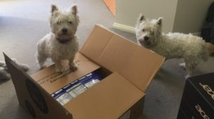 West Highland White Terriers inspecting a delivery (of dog food)